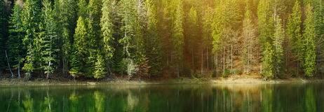 High tall pine tree forest near the lake Stock Photography