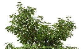 high tall tree Royalty Free Stock Image