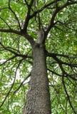 High tall tree Stock Image