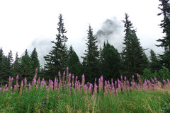 High Tatras - landscape. High Tatras's mountains - flowers in early morning Royalty Free Stock Photos