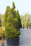 High Taxus evergreen coniferous tree trimmed in shape of spiral. In pot Royalty Free Stock Photos