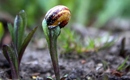 High Tea. Snail pictured in an English garden UK tucking in from the top down Stock Photos