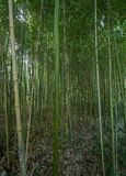High thickets of bamboo in the forest royalty free stock image