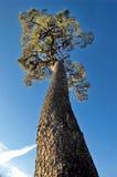 High tree Royalty Free Stock Photography
