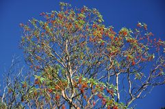 High tree Arbutus andrachne with green leaves and red fruit on a blue sky stock photo