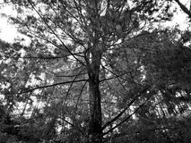 High Tree. A beautiful Black and white tree Stock Images