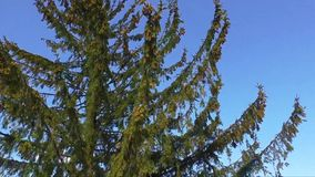 High tree moving in wind against a blue sky stock footage