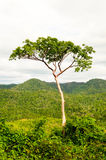 High tree in tropical jungle Stock Photos