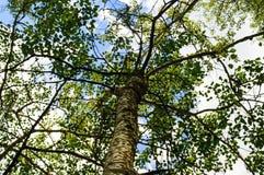 High tree with white bark aspen, poplar, birch. bottom view. Stock Photo