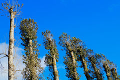 High trees background Royalty Free Stock Photo