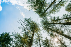 High trees and blue sky. High trees with blue sky Royalty Free Stock Photography