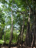 High trees in a deep jungle Stock Images