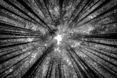 High trees in forest from below in infrared royalty free stock image