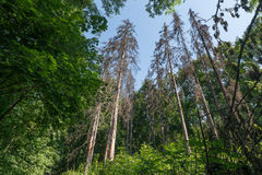 High trees in forest. High trees in ukrainian forest with sky Stock Photo