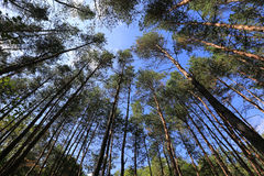 High trees in forest Stock Photo