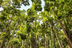 High trees of Monky Forest, Bali royalty free stock photo