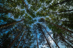High trees. Pine forest shooted on ultra wide angle lens Stock Images