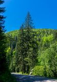 High trees by the road. In Carpathian Mountains. Arbor at the foot of trees Royalty Free Stock Images