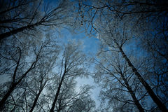 High trees. High winter trees  shooted by wide angle lens Royalty Free Stock Image