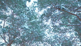High treetops in a forest covered with snow. Huge high treetops in a forest covered with snow stock video footage