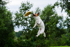 High trick jump of dog catching flying disc Royalty Free Stock Photo
