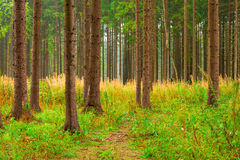 High trunks of coniferous trees Royalty Free Stock Photos