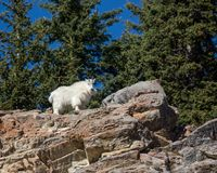 Mountain Goat on cliff edge royalty free stock photography