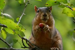Portrait of funny Squirrel eating a Berry in a Treetop royalty free stock photos