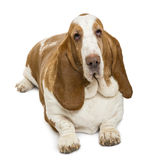 High view of a Basset Hound looking at the camera Stock Photography