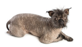 High view of a Hairless Mixed-breed dog, mix between a French bulldog and a Chinese crested dog, lying and looking at the camera Stock Image