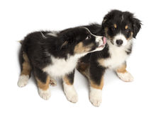 High view of Two Australian Shepherd puppies Stock Photography