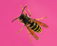 High view of a Wasp Royalty Free Stock Photo