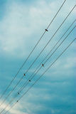 High voltage cables. Birds sitting on a high-voltage cables in the sky Royalty Free Stock Images