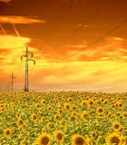 High-voltage power line masts in the field of sunflowers,sunset sky Royalty Free Stock Image