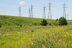 High-voltage power lines and the cows in the pasture Stock Photo