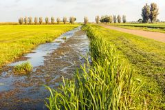 High water level in a Dutch polder ditch with duckweed. And a mirror smooth dark blue reflecting water surface. Reed plants growing on the edge of the ditch. It stock photos