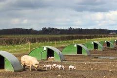 High welfare pigs Stock Image