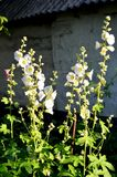 High white mallow flowers on the background of an old house. High white mallow flowers on the background of an old house in the country Stock Image