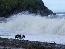 High white surf. High white beach surf close to a dog,with a pebble beach and rocks at the rear Royalty Free Stock Image
