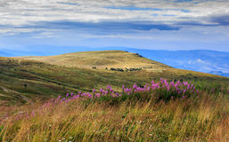 High wild plants at the mountain top. High wild grass and purple flowers at the top of the mountain Stock Image
