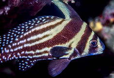 Highaht fish. Pareques acuminatus,  also called the the high-hat, cubbyu, streaked ribbonfish or striped drum Royalty Free Stock Photo