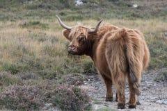 Highand ko i den nya skogen arkivfoton