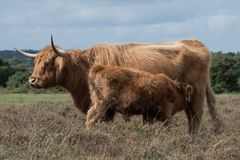 Highand mother cow and her calf. Feeding in the New Forest, Hampshire UK royalty free stock photos