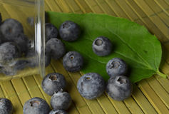 Highbush american blueberry Stock Image