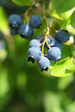 Highbush blueberries Stock Photos
