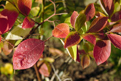 Highbush blueberry colored leaves Stock Photography