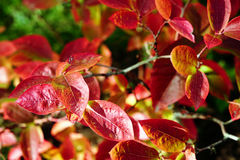 Highbush blueberry colored leaves Stock Photos