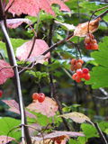 Highbush cranberry in september Royalty Free Stock Images