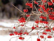 Highbush Cranberry - Viburnum Royalty Free Stock Photo