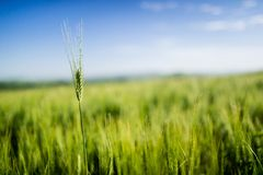 Highest wheat stem in the green field Royalty Free Stock Photography